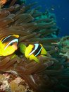 Free Clown Fish Royalty Free Stock Photo - 891775