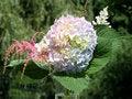 Free Hydrangea Royalty Free Stock Photo - 893565