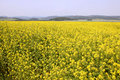 Free Golden Canola Field Royalty Free Stock Photos - 893868