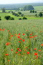 Free Field Of Poppies Stock Photo - 893980