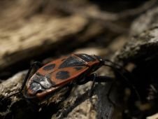 Free Milkweed Bug Close Up Royalty Free Stock Photos - 890808