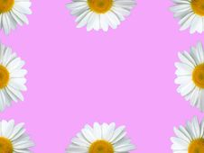 Free Chamomile Frame Pink Royalty Free Stock Photography - 890837