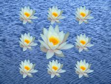 Free Group Of Water Lily Royalty Free Stock Photography - 890857