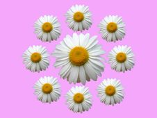 Free Wreath Of Chamomile Pink Royalty Free Stock Images - 890969