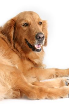 Free Golden Retriever Stock Images - 891084