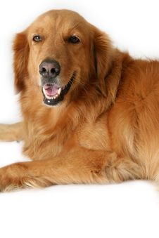 Free Golden Retriever Royalty Free Stock Photos - 891088