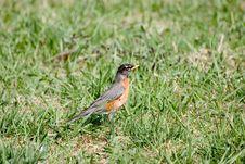 Free Bird In Grass Stock Photos - 891143