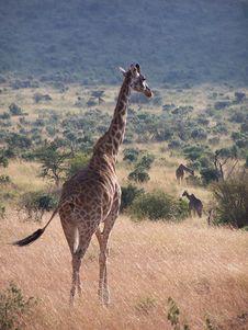 Free Giraffes Stock Image - 891341
