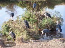 Free Marabu Storks Stock Photo - 891440