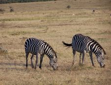 Free Zebras Stock Photo - 891580