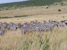 Free Zebras Stock Image - 891601