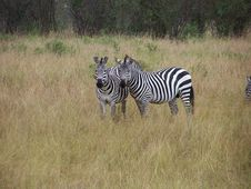 Free Zebras Royalty Free Stock Photo - 891625