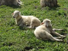 Free Lambs Stock Images - 892554