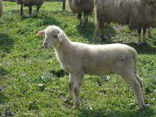 Free Lamb Royalty Free Stock Images - 892559