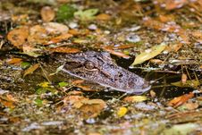 Free Gator In Leaves Royalty Free Stock Photos - 892668