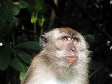 Free Long Tail Macaque Looking Royalty Free Stock Image - 893246