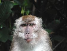 Free Long Tail Macaque Stock Photo - 893260