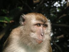 Free Long Tail Macaque Staring Stock Photos - 893273