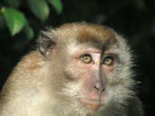 Free Macaque Giving Funny Looks Stock Photography - 893282