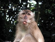 Free Monkey Poking Tongue Out Royalty Free Stock Photography - 893297