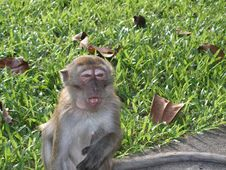Free Primate Looking Half-asleep Royalty Free Stock Photos - 893358