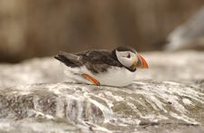 Free Puffin Royalty Free Stock Photography - 893487