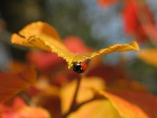 Free October And A Lady Bug Royalty Free Stock Photos - 893638
