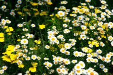 Free Field Of Daisies Stock Photo - 894200