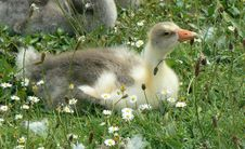 Free Gosling Stock Images - 897204