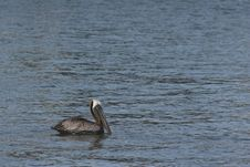 Free Pelican Resting In Water Stock Photo - 898060