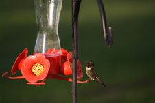 Hummingbird On A Feeder Stock Photography