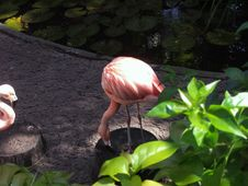 Pink Chilean Flamingo Stock Photo