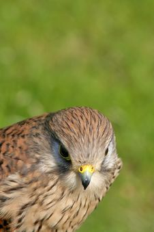 Free Hawk And Background Royalty Free Stock Photo - 898795