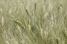 Free Wheat In Detail - Landscape Royalty Free Stock Image - 899346