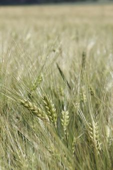 Free Wheat In Detail - Portrait Stock Photography - 899352