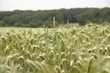 Free Cornfield 02 Royalty Free Stock Images - 899499