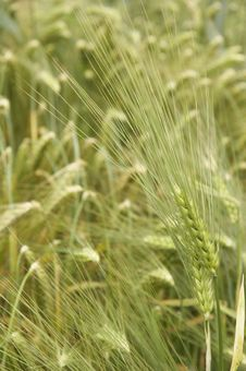 Free Wheat In Detail Stock Photo - 899510