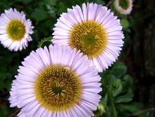 Free Daisy Stock Photo - 899860