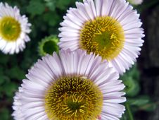 Free Daisy 3 Royalty Free Stock Images - 899869