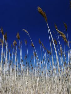 Free Tall Grasses Royalty Free Stock Photo - 899895