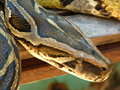 Free Python Boa Constrictor Close-up Royalty Free Stock Image - 8904716