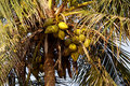 Free Coconut Tree Royalty Free Stock Images - 8904929