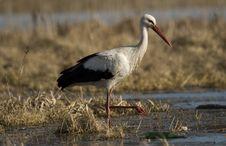 Free Stork Stock Image - 8901021
