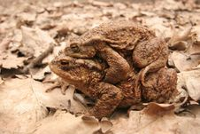 Free Common Toad Mating Stock Images - 8901144