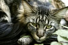 Free Maine Coon Royalty Free Stock Image - 8901836