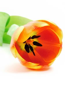 Free Tulip Royalty Free Stock Images - 8901939