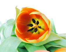 Free Red Tulip Stock Photo - 8901960