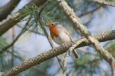 Free Robin In Pine Tree Royalty Free Stock Image - 8903776