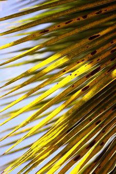 Free Coconut Leaves Royalty Free Stock Photography - 8905387