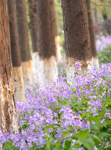 Free Purple Bloom In The Grove Stock Photo - 8905870